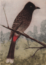 INDIAN BIRDS: The Red-vented Bulbul, vintage print 1943